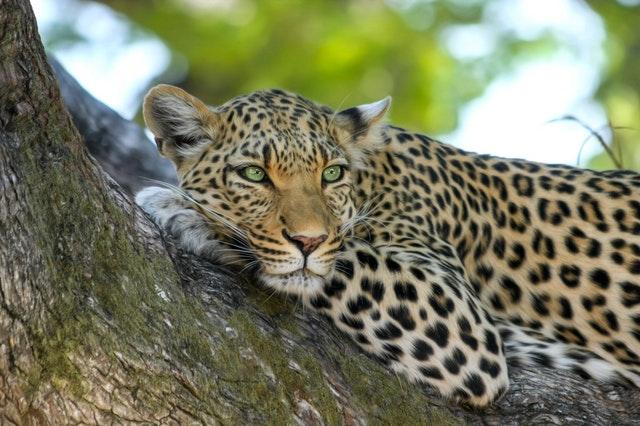 africa cat leopard