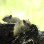 Botswana rodents